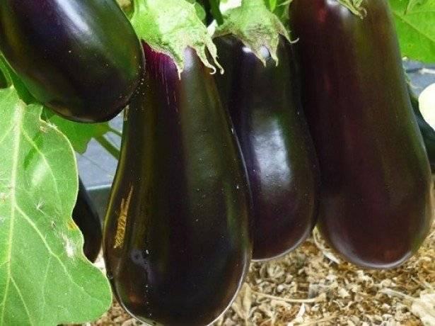 Лучшие сорта баклажанов для сибири: описание, фото, агротехника
