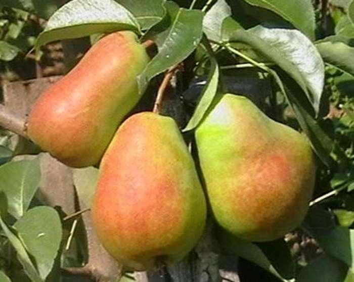 Почему груша не распускается после зимы и как спасти дерево