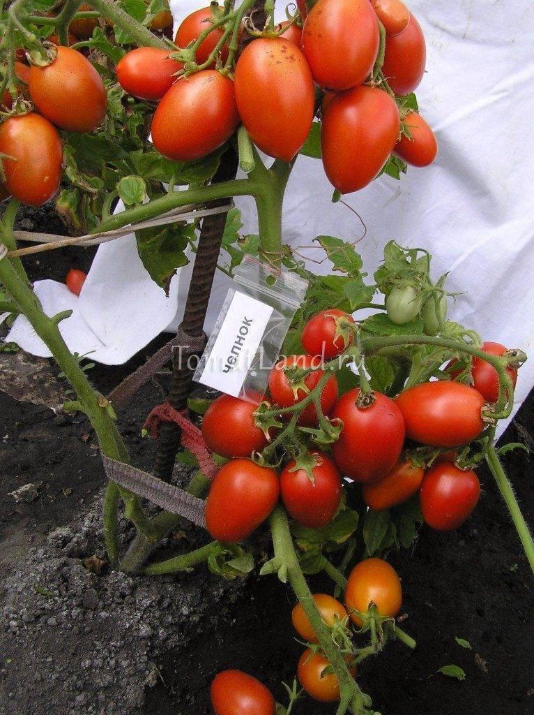 Томат Челнок: отзывы, фото, урожайность