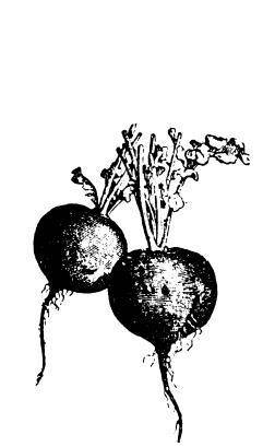 Агротехника редиса: секреты выращивания корнеплода для получения богатого урожая