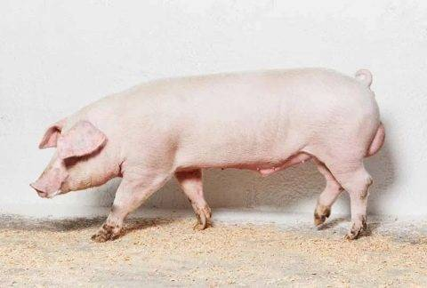 Свиньи ландрас — прекрасно дополнят вашу ферму