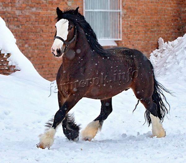 Лошади породы владимирский тяжеловоз: характеристика и содержание