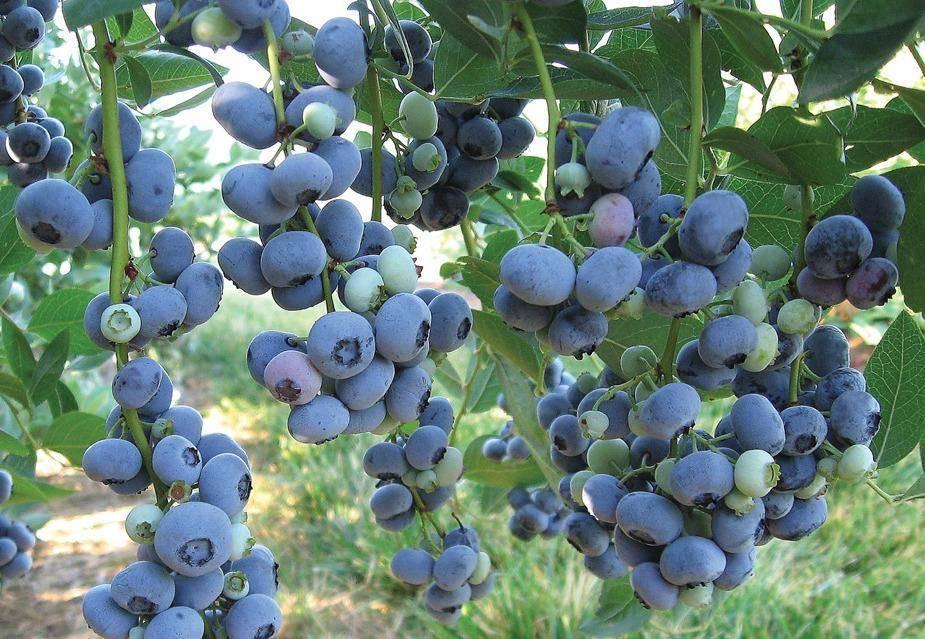 Голубика денис блю: описание сорта