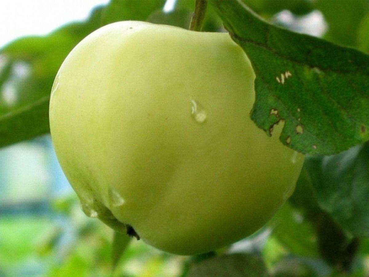 Яблоня колоновидная васюган: особенности посадки и ухода