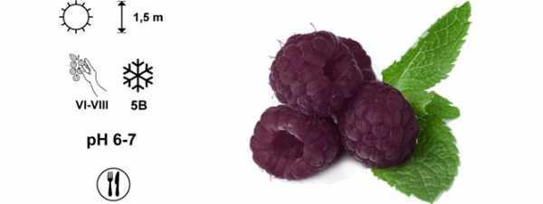 Фиолетовая малина! описание сорта глен кое