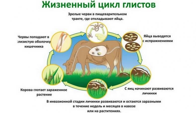 Глисты у теленка и коров