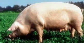 Свиньи мясной породы: фото и описание