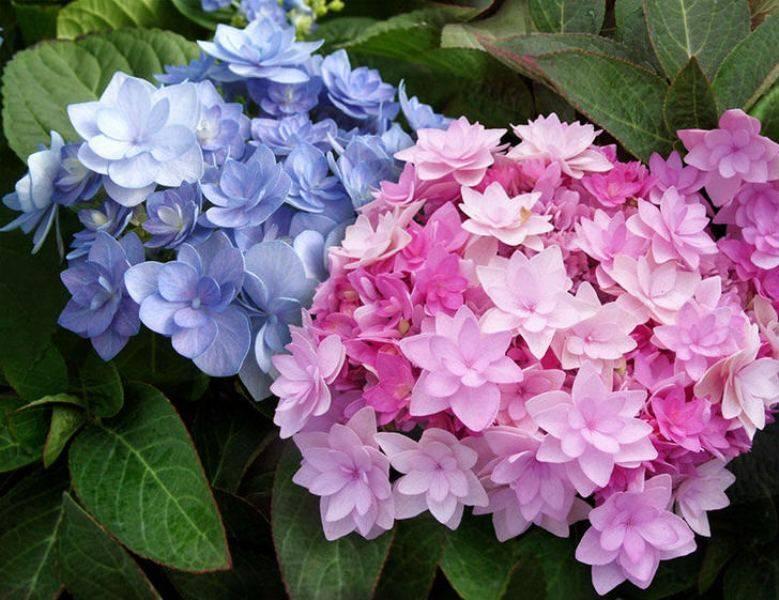 Бесконечное или вечное лето - сорт гортензии, цветущей все лето: эндлесс саммер