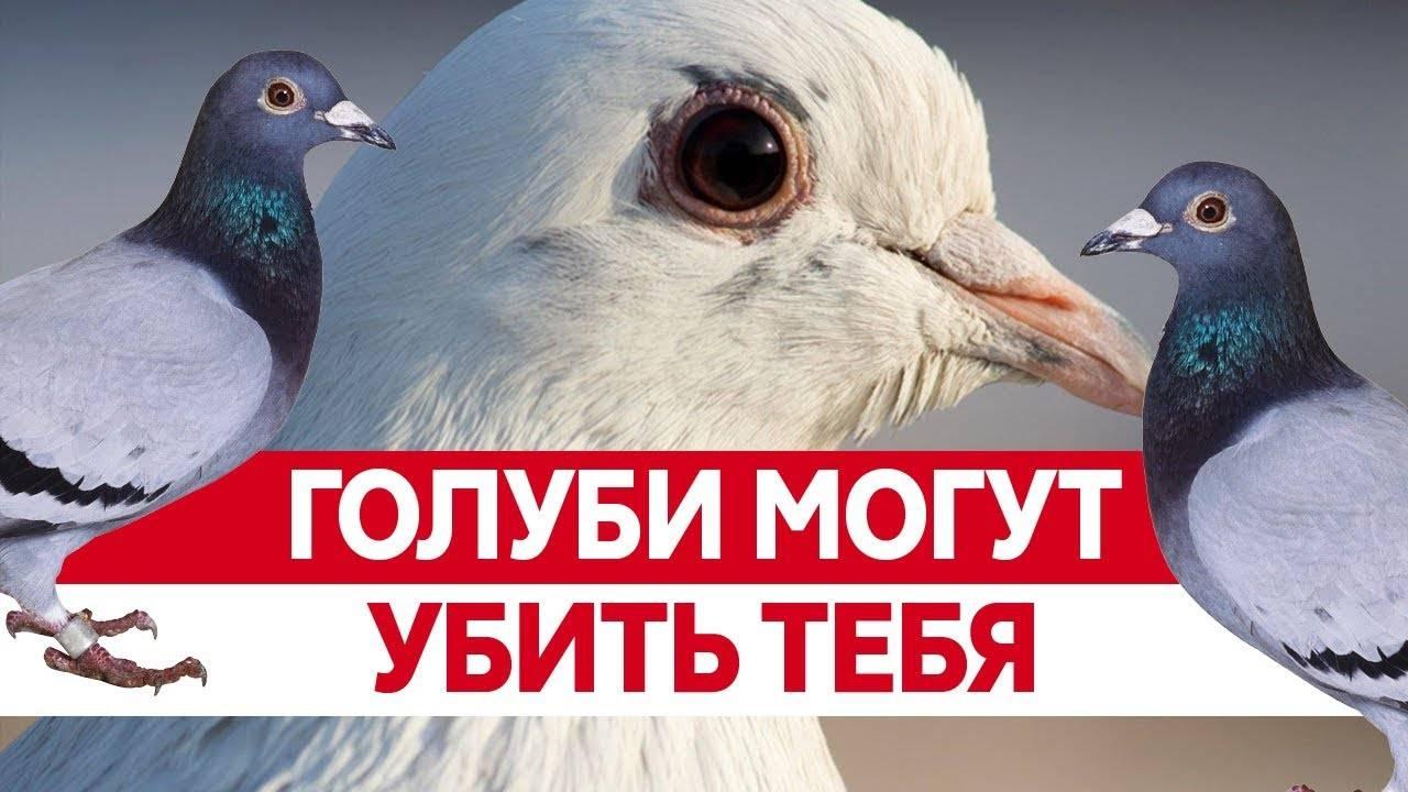 Оспа голубей: лечение и профилактика