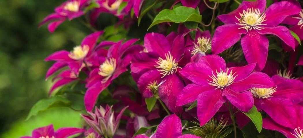 Как посадить спирею и организовать правильный уход за растением