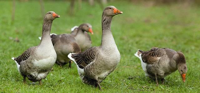 Порода гусей — крупные серые