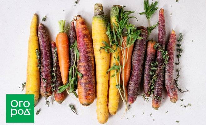 Морковь нииох 336: характеристика и особенности выращивания сорта