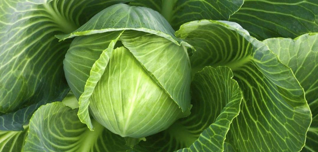 Капуста колобок f1: описание сорта с фото, отличие от других гибридов, пошаговая инструкция по выращиванию, меры профилактики заболеваний, хранение урожая
