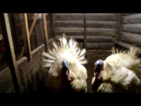 Классификация пород индюков по мясу и яйценоскости