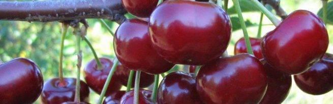Характеристика сорта вишни тургеневка, описание посадки и ухода и опылителей
