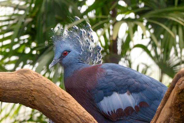 Торцовые голуби: видео, породы