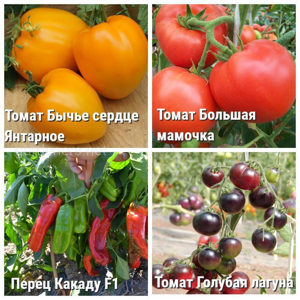 Томат ультраскороспелый: характеристика и описание сорта, фото, урожайность, отзывы