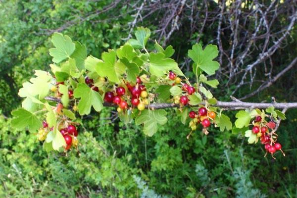 Дикая смородина (репис): где растет, описание и фото, рецепты