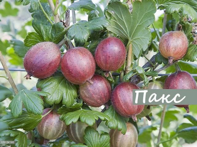 Слива ксения — описание сорта, фото, отзывы садоводов