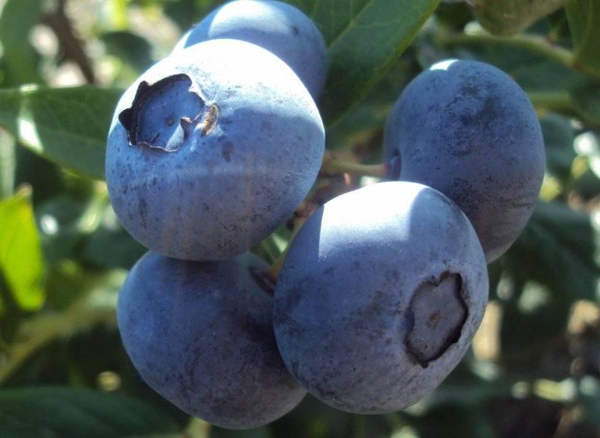 Голубика торо: правила выращивания, польза и вред