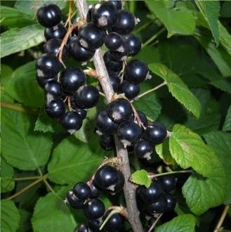 Смородина чёрная дачница — основные характеристики сорта