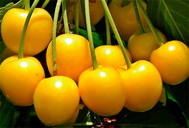 О черешне янтарной: описание и характеристики сорта, посадка, уход, выращивание