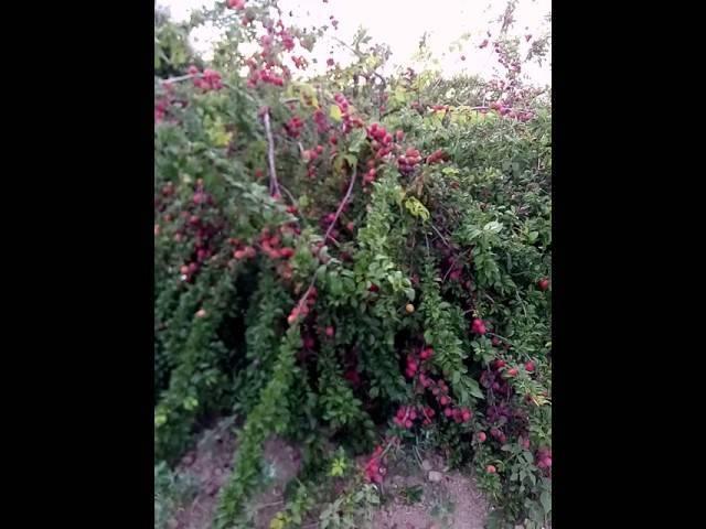Алыча 'июльская роза'