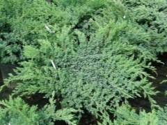 Можжевельник чешуйчатый: описание растения, сорта, посадка и уход в открытом грунте