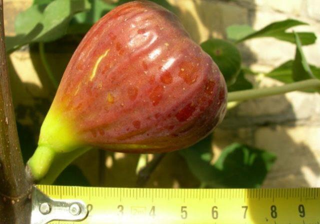 Популярные сорта инжира: советы по выбору для выращивания