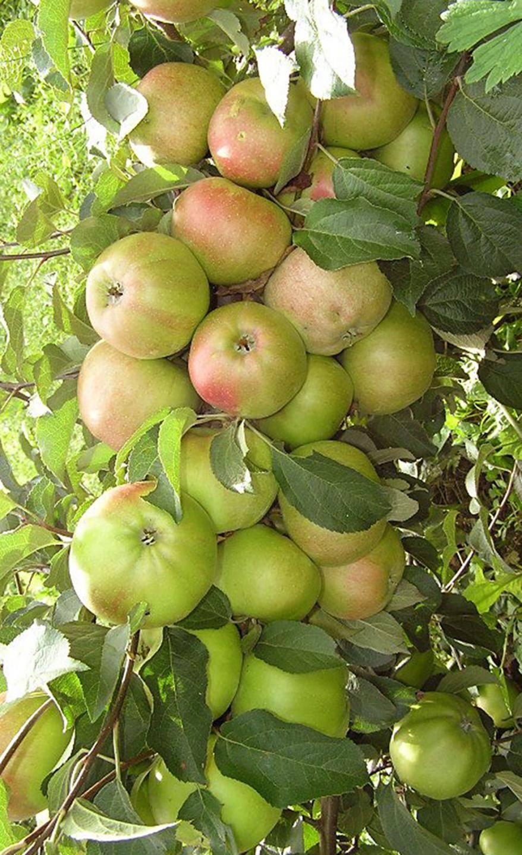 Особенности выращивания колоновидной яблони президент