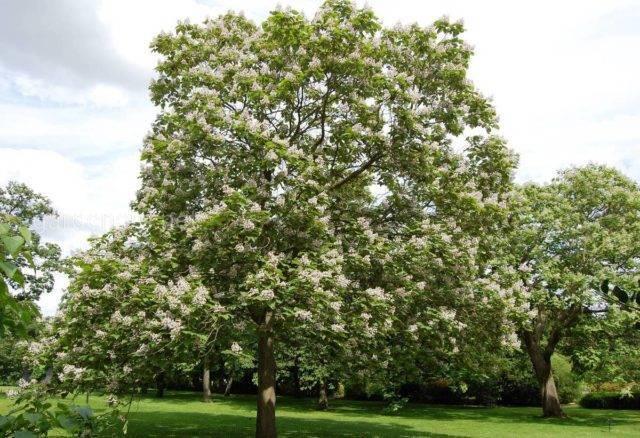 Эффектное дерево катальпа: посадка и уход на открытом участке