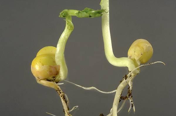 Болезни кукурузы, фото, их признаки и меры борьбы