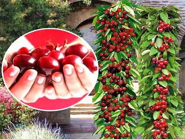 Особенности выращивания колоновидной черешни