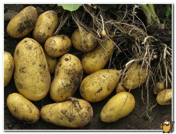 Картофель сорта аврора — любимец дачников