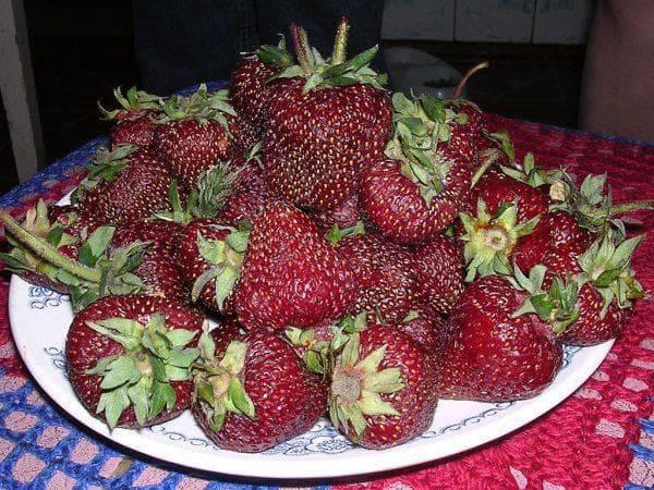 Сорт клубники черный принц — описание и принципы выращивания