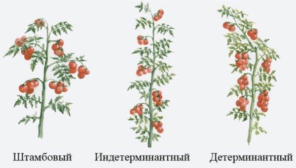 Томаты индетерминантные и детерминантные – в чем отличие