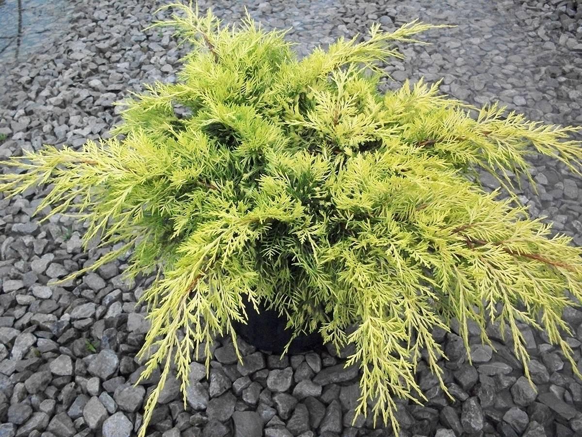 Можжевельник средний голд киссен (juniperus media gold kissen)