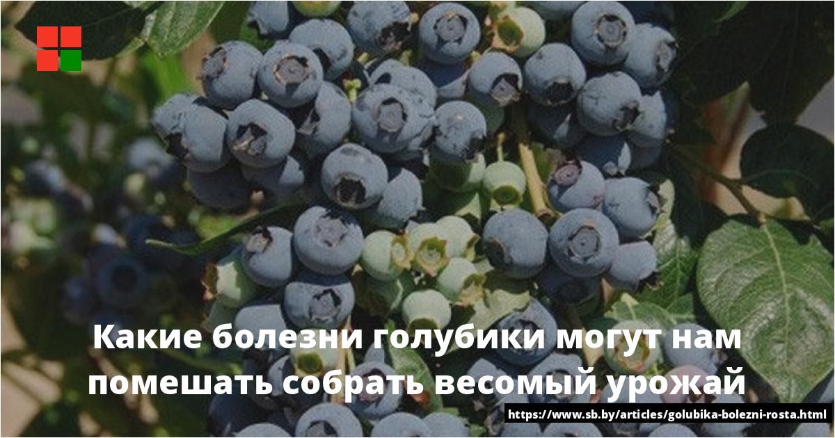 Подкормка и удобрение голубики весной, летом и осенью