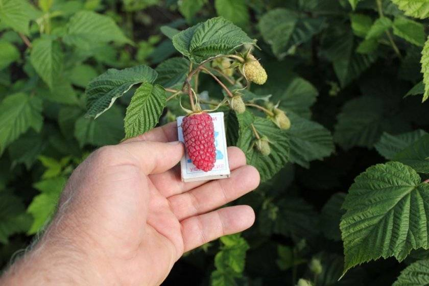 Крупная малина: характеристика, особенности, лучшие сорта, правила ухода
