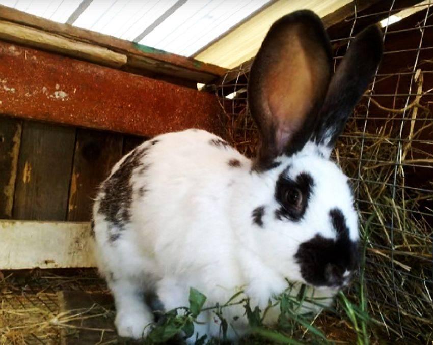 Карликовый кролик — породы, описание, особенности,содержание и уход в домашних условиях (фото и видео)
