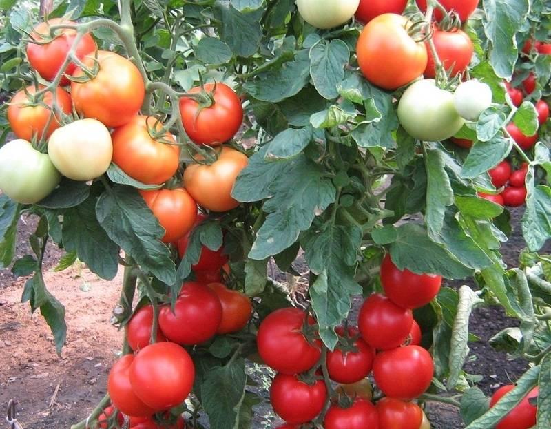 Томат интуиция: характеристика сорта, преимущества, правила выращивания в теплице, отзывы