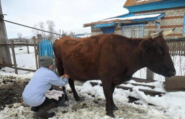 Как правильно раздоить козу после окота и сколько раз в день доить 2020