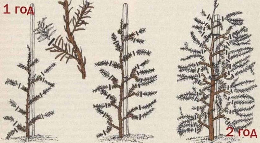 Можжевельник казацкий: описание сортов с фото, посадка и уход, размножение и обрезка