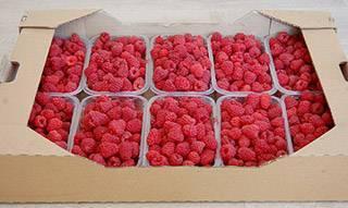 Малина феномен: всё о выращивании популярного сорта