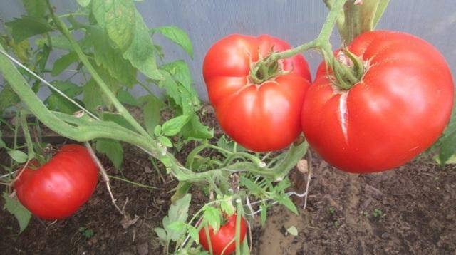 Описание среднеспелого томата царь колокол и правила культивирования сорта