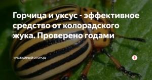 Горчица и уксус от колорадского жука: эффективность, отзывы