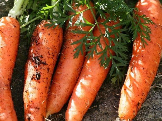 Лучшие сорта моркови для открытого грунта в сибири