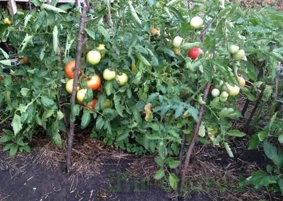Выращиваем высокий урожай томатов в открытом грунте