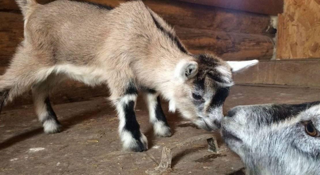 Карликовые камерунские козы в хозяйстве