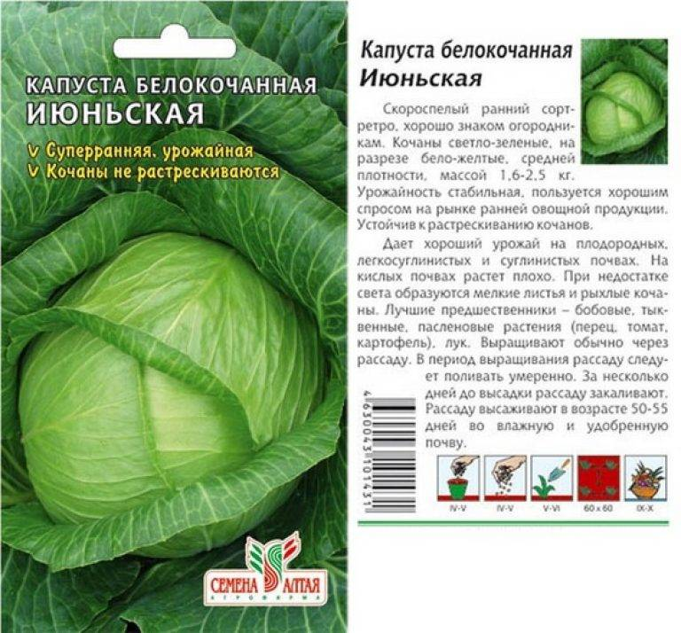 Высокоурожайный популярный сорт капусты амагер
